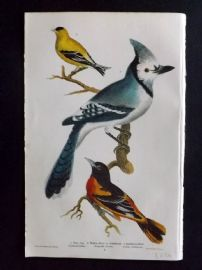 Alexander Wilson 1877 Bird Print. Blue Jay, Yellow Bird Or Goldfinch, Baltimore